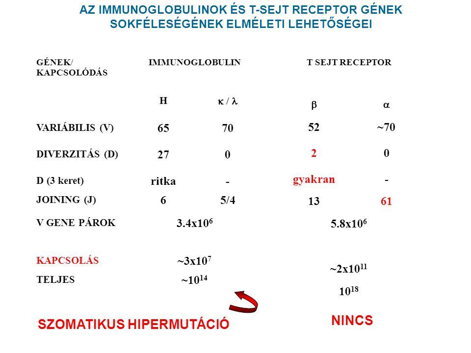 GÉNEK/ KAPCSOLÓDÁS IMMUNOGLOBULIN H  / VARIÁBILIS (V) 6570 DIVERZITÁS (D) 270 D (3 keret) ritka- JOINING (J) 65/4 V GENE PÁROK 3.4x10 6 KAPCSOLÁS ~3x10 7 TELJES ~10 14 SZOMATIKUS HIPERMUTÁCIÓ AZ IMMUNOGLOBULINOK ÉS T-SEJT RECEPTOR GÉNEK SOKFÉLESÉGÉNEK ELMÉLETI LEHETŐSÉGEI T SEJT RECEPTOR  52~70 20 gyakran- 1361 5.8x10 6 ~2x10 11 10 18 NINCS