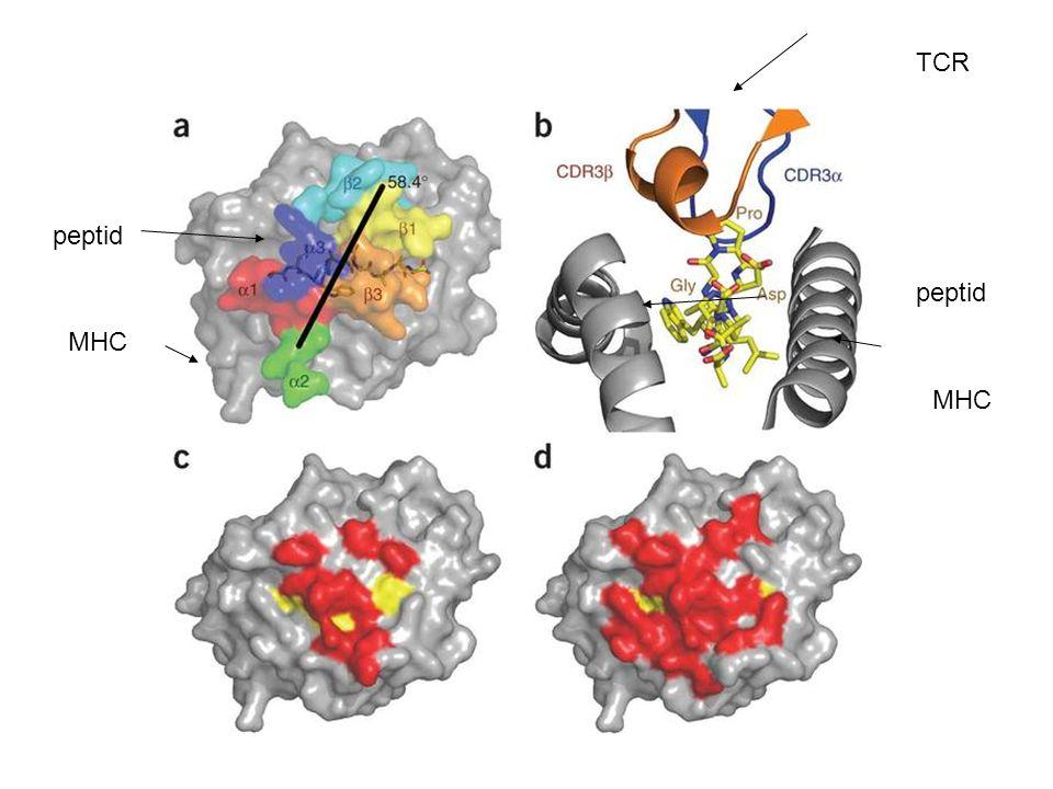 TCR MHC peptid MHC peptid