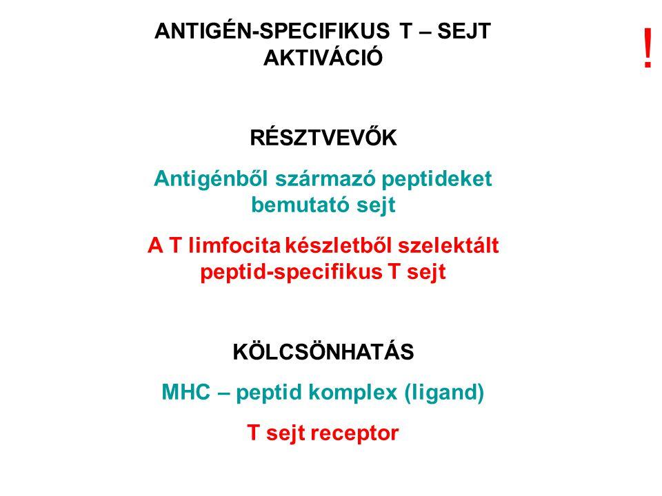 ANTIGÉN-SPECIFIKUS T – SEJT AKTIVÁCIÓ RÉSZTVEVŐK Antigénből származó peptideket bemutató sejt A T limfocita készletből szelektált peptid-specifikus T sejt KÖLCSÖNHATÁS MHC – peptid komplex (ligand) T sejt receptor !