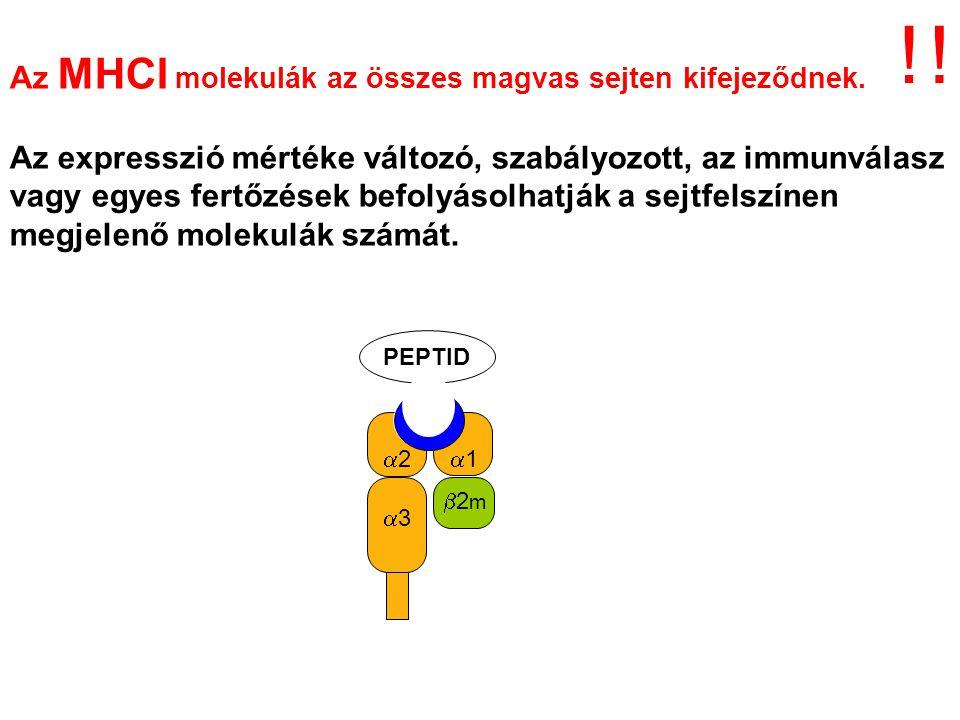 Az MHCI molekulák az összes magvas sejten kifejeződnek.