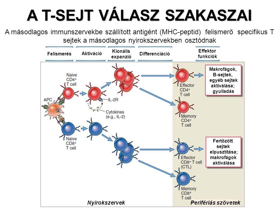 A T-SEJT VÁLASZ SZAKASZAI Nyirokszervek Perifériás szövetek FelismerésDifferenciáció Effektor funkciók Aktiváció Klonális expanzió Makrofágok, B-sejtek, egyéb sejtek aktiválása; gyulladás Fertőzött sejtek elpusztítása; makrofágok aktiválása A másodlagos immunszervekbe szállított antigént (MHC-peptid) felismerő specifikus T sejtek a másodlagos nyirokszervekben osztódnak