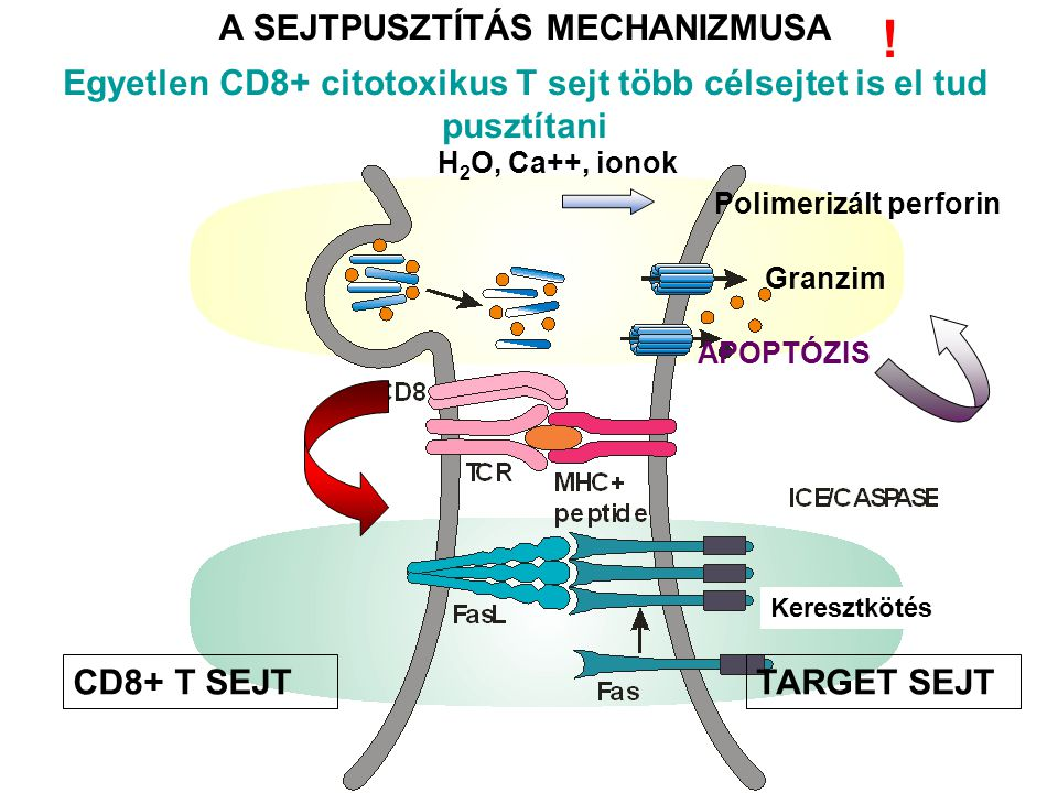 A SEJTPUSZTÍTÁS MECHANIZMUSA CD8+ T SEJTTARGET SEJT H 2 O, Ca++, ionok Granzim Polimerizált perforin APOPTÓZIS Keresztkötés .