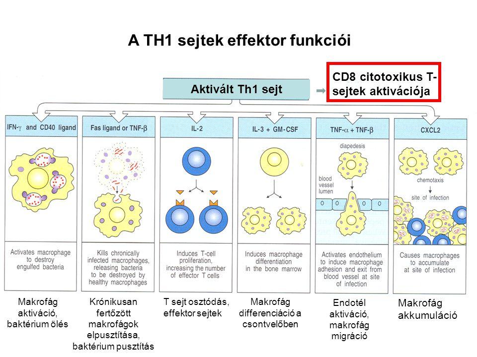 A TH1 sejtek effektor funkciói Aktivált Th1 sejt Makrofág aktiváció, baktérium ölés Krónikusan fertőzött makrofágok elpusztítása, baktérium pusztítás T sejt osztódás, effektor sejtek Makrofág differenciáció a csontvelőben Endotél aktiváció, makrofág migráció Makrofág akkumuláció CD8 citotoxikus T- sejtek aktivációja