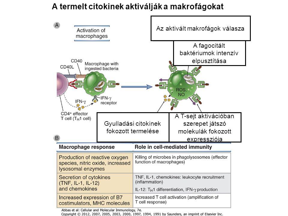 A termelt citokinek aktiválják a makrofágokat A fagocitált baktériumok intenzív elpusztítása A T-sejt aktivációban szerepet játszó molekulák fokozott expressziója Gyulladási citokinek fokozott termelése Az aktivált makrofágok válasza
