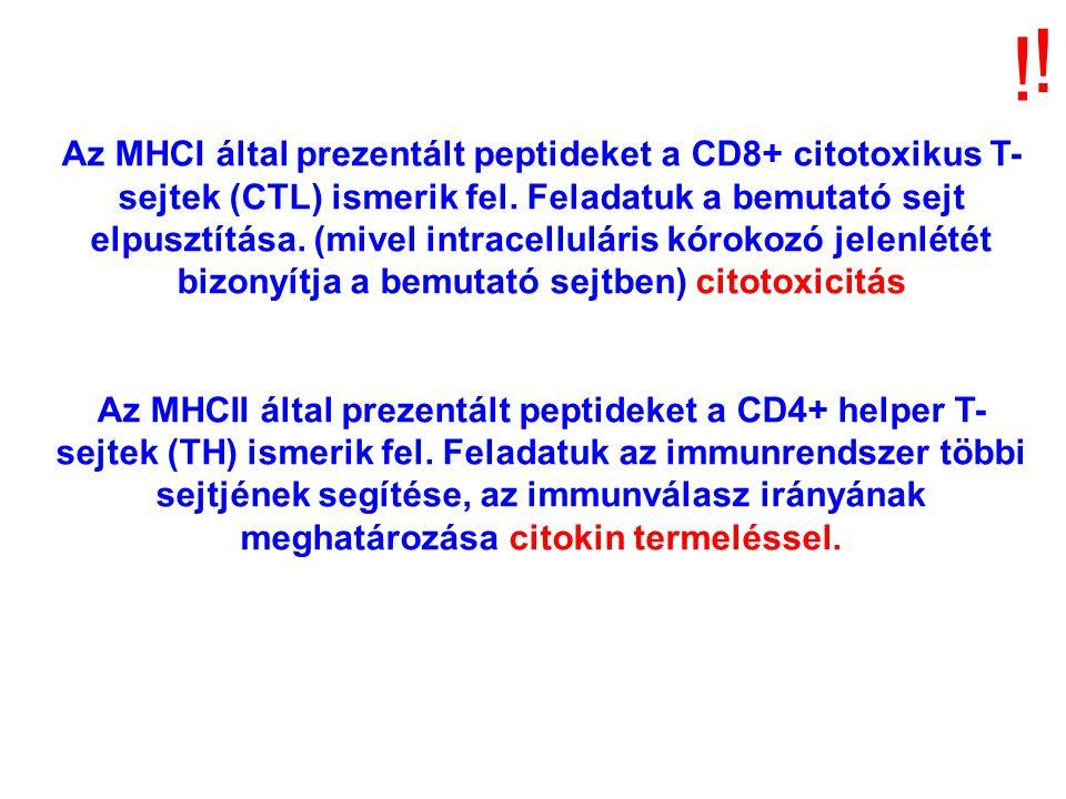 ! ! Az MHCI által prezentált peptideket a CD8+ citotoxikus T- sejtek (CTL) ismerik fel. Feladatuk a bemutató sejt elpusztítása. (mivel intracelluláris