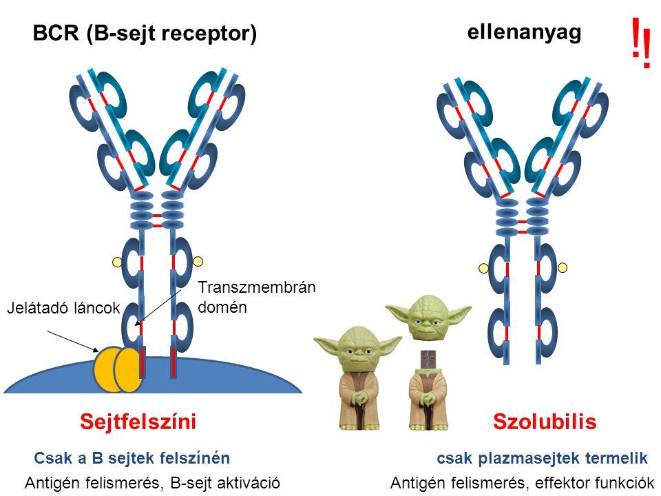 ellenanyag BCR (B-sejt receptor) ! ! Jelátadó láncok Csak a B s Transzmembrán domén Sejtfelszíni Szolubilis Antigén felismerés, B-sejt aktiváció Antig