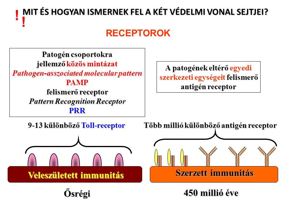 Sok variábilis gén szegmens van, de csak egy konstans gén szegmens VCVVVCSÍRAVONAL A V és C gének csak a B-sejtekben kerülnek egymás mellé C V VV B-SEJT FehérjeGén GÉN SZEGMENSEK SZOMATIKUS ÁTRENDEZŐDÉSE –rekombinációja- EGY GÉNNÉ