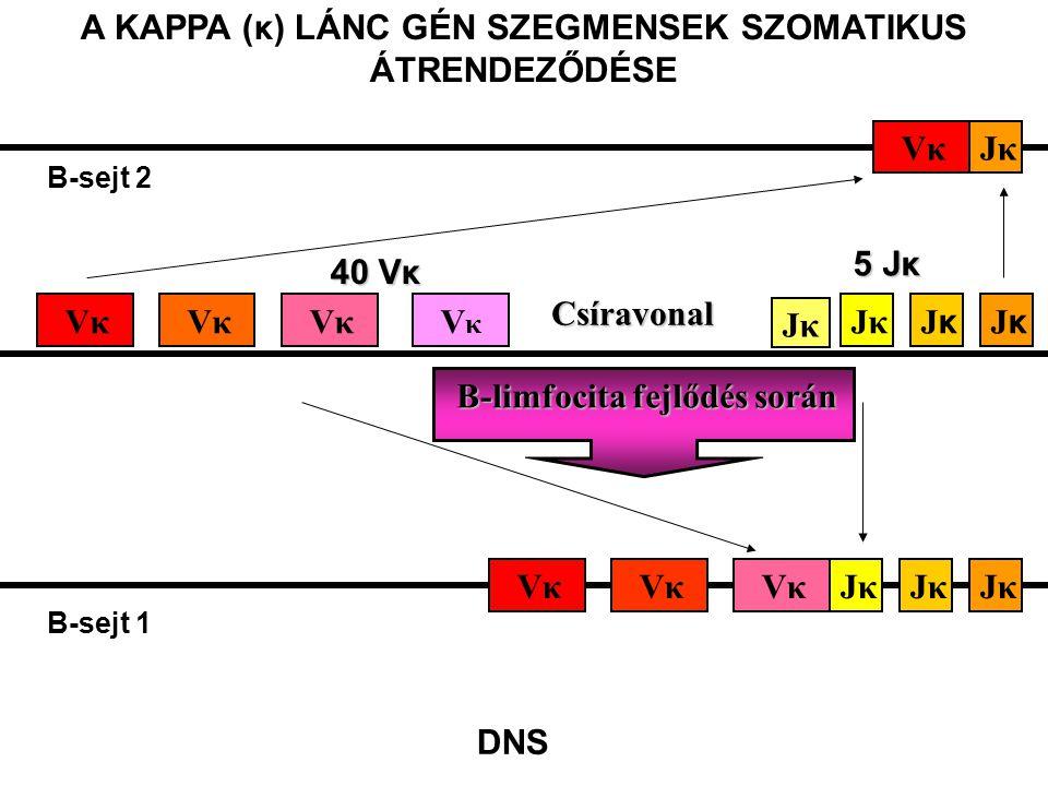 B-limfocita fejlődés során JkJκ Vκ B-sejt 1 JκVκ B-sejt 2 40 Vκ 5 Jκ Vκ VκVκ Jκ JκJκ JκJκ Csíravonal A KAPPA (κ) LÁNC GÉN SZEGMENSEK SZOMATIKUS ÁTREND