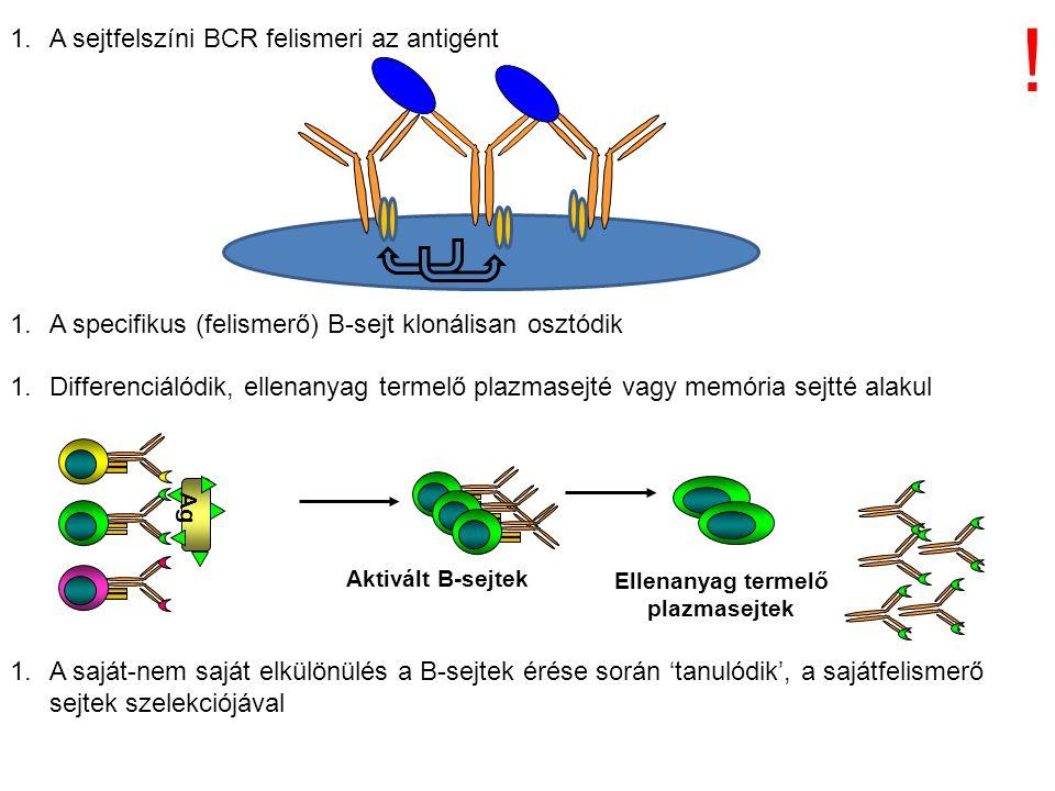 1.A sejtfelszíni BCR felismeri az antigént 1.A specifikus (felismerő) B-sejt klonálisan osztódik 1.Differenciálódik, ellenanyag termelő plazmasejté va