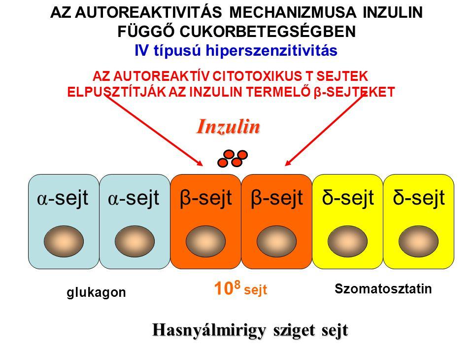 Inzulin β-sejtδ-sejt α- sejt β-sejtδ-sejt Hasnyálmirigy sziget sejt AZ AUTOREAKTIVITÁS MECHANIZMUSA INZULIN FÜGGŐ CUKORBETEGSÉGBEN IV típusú hiperszen
