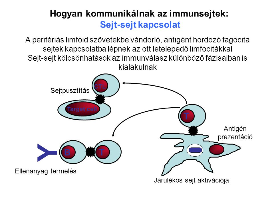 Hogyan kommunikálnak az immunsejtek: Sejt-sejt kapcsolat A perifériás limfoid szövetekbe vándorló, antigént hordozó fagocita sejtek kapcsolatba lépnek az ott letelepedő limfocitákkal Sejt-sejt kölcsönhatások az immunválasz különböző fázisaiban is kialakulnak T CTL T B Y Ellenanyag termelés Járulékos sejt aktivációja Antigén prezentáció Target cell Sejtpusztítás