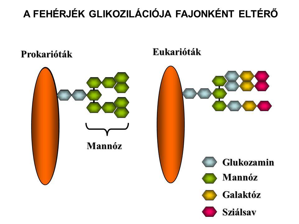 Eukarióták Glukozamin Mannóz Galaktóz Sziálsav A FEHÉRJÉK GLIKOZILÁCIÓJA FAJONKÉNT ELTÉRŐ Mannóz Prokarióták