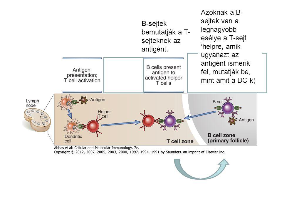 B-sejtek bemutatják a T- sejteknek az antigént.