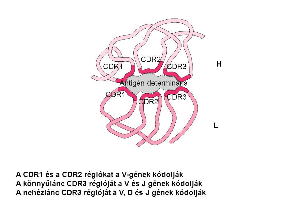 A CDR1 és a CDR2 régiókat a V-gének kódolják A könnyűlánc CDR3 régióját a V és J gének kódolják A nehézlánc CDR3 régióját a V, D és J gének kódolják Antigén determináns CDR1 CDR2 CDR3 CDR1 CDR2 CDR3 H L