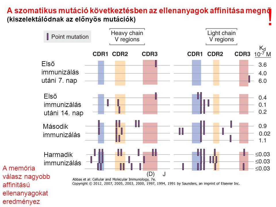 A szomatikus mutáció következtésben az ellenanyagok affinitása megnő (kiszelektálódnak az előnyös mutációk) A memória válasz nagyobb affinitású ellenanyagokat eredményez Első immunizálás utáni 7.