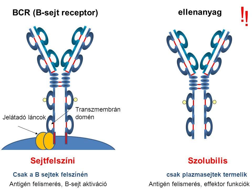A B-sejt sokféleség kialakulása a csontvelőben antigén független A funkcionális V, D és J gének száma: 65 VH x 27 DH x 6JH = 10,530 kombináció 40 V  x 5 J  = 200 kombináció 30 V  x 4 J = 120 kombináció = 320 különböző könnyű lánc Amennyiben a H és L láncok véletlenszerűen párosodnak mint H 2 L 2 10,530 x 320 = 3,369,600 lehetőség Csak a KOMBINÁCIÓS sokféleség A valóságban bizonyos H + L kombinációk nem fordulnak elő, mert instabilak Bizonyos V és J gének gyakrabban fejeződnek ki, mint mások A KAPCSOLÁSI sokféleség tovább növeli a szekvenciák számát A POTENCIÁLIS B-SEJT KÉSZLET KIALAKULÁSA