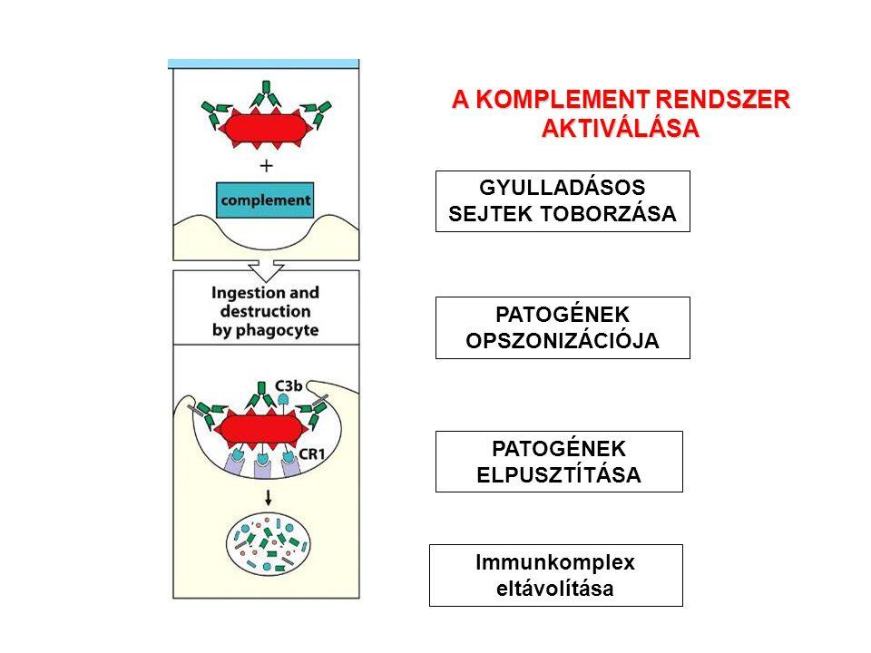 A KOMPLEMENT RENDSZER AKTIVÁLÁSA GYULLADÁSOS SEJTEK TOBORZÁSA PATOGÉNEK OPSZONIZÁCIÓJA PATOGÉNEK ELPUSZTÍTÁSA Immunkomplex eltávolítása