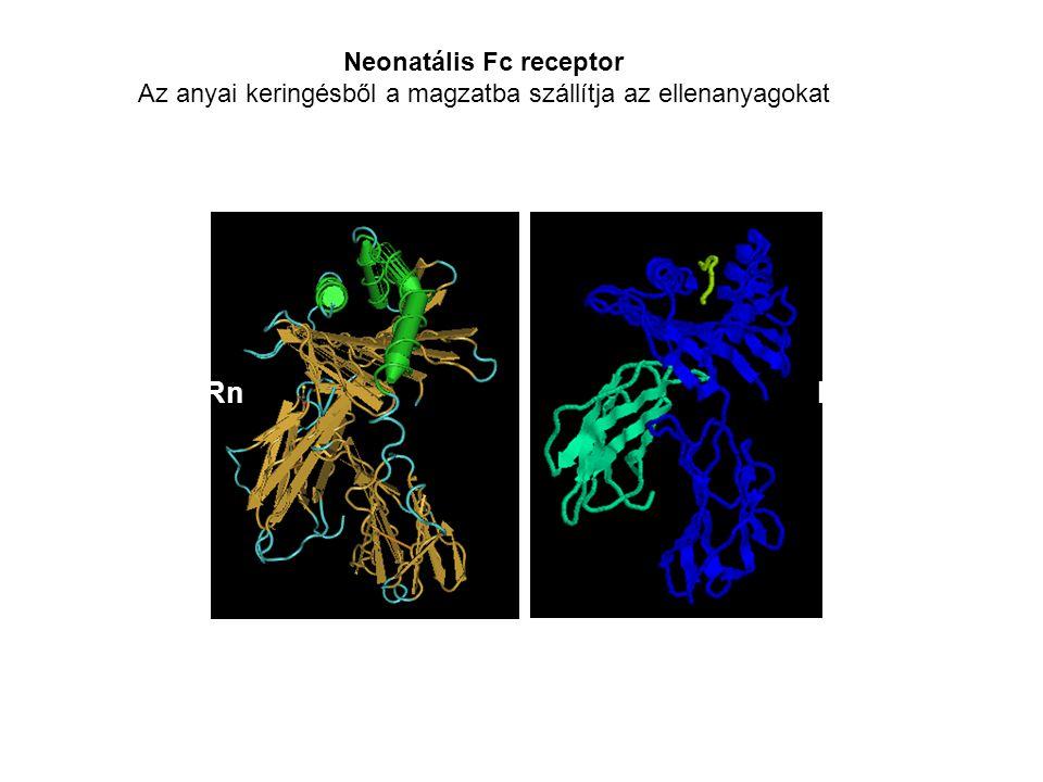 Az IgG placentális transzportja A neonatális Fc  receptor A rágcsálók bélrendszerében az Fc γ Rn megköti a kolosztrumból származó anyai eredetü IgG-t (pH6.5).