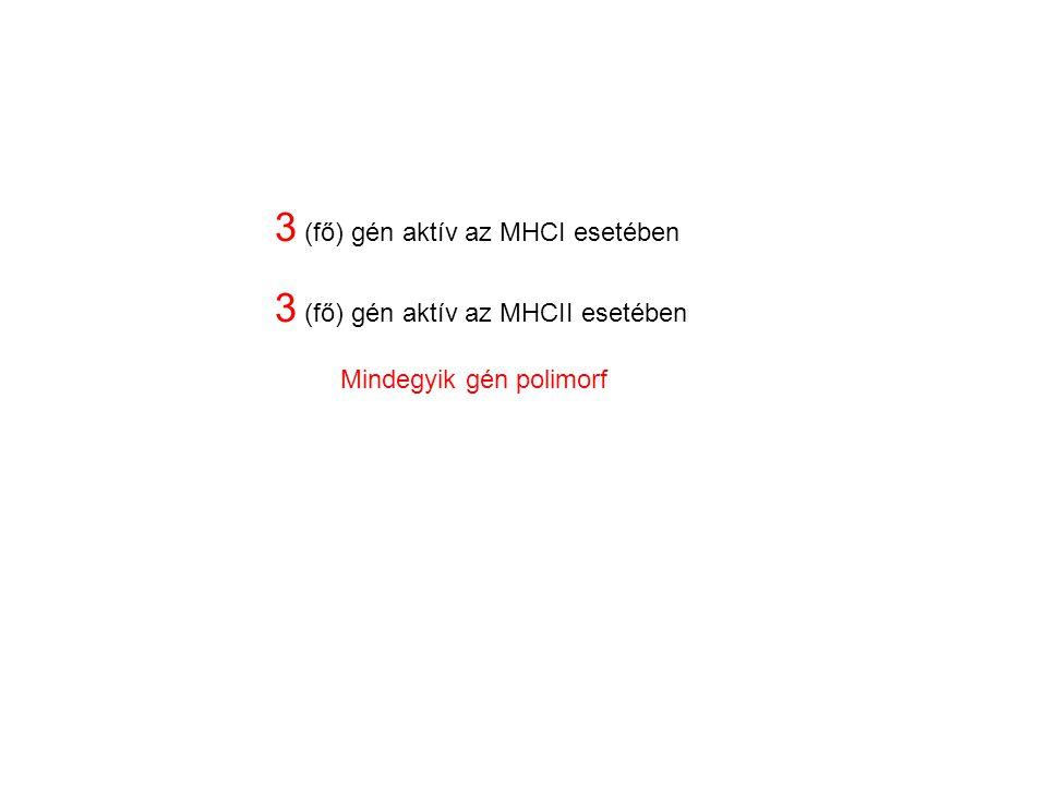 3 (fő) gén aktív az MHCI esetében 3 (fő) gén aktív az MHCII esetében Mindegyik gén polimorf