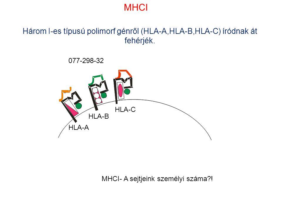 Három I-es típusú polimorf génről (HLA-A,HLA-B,HLA-C) íródnak át fehérjék. HLA-A HLA-B HLA-C MHCI- A sejtjeink személyi száma?! 077-298-32 MHCI