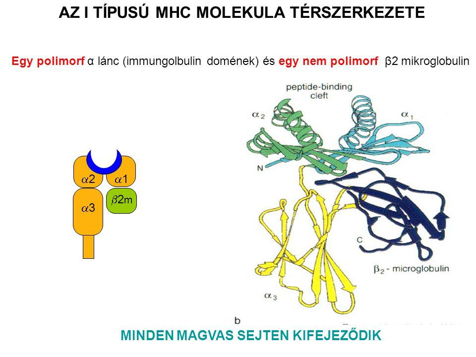 11 33 22 2m2m AZ I TÍPUSÚ MHC MOLEKULA TÉRSZERKEZETE MINDEN MAGVAS SEJTEN KIFEJEZŐDIK Egy polimorf α lánc (immungolbulin domének) és egy nem polimorf β2 mikroglobulin
