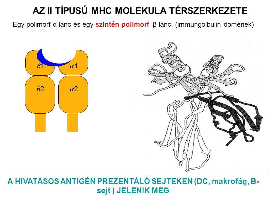 22 11 22 11 A HIVATÁSOS ANTIGÉN PREZENTÁLÓ SEJTEKEN (DC, makrofág, B- sejt ) JELENIK MEG AZ II TÍPUSÚ MHC MOLEKULA TÉRSZERKEZETE Egy polimorf α lánc és egy szintén polimorf β lánc.