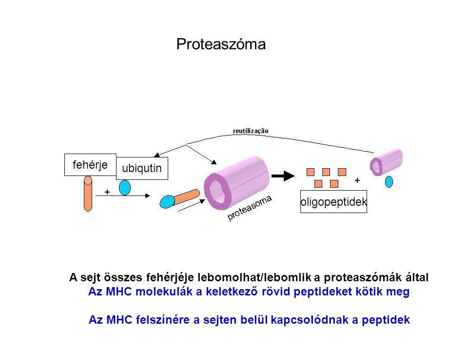 Proteaszóma fehérje ubiqutin oligopeptidek A sejt összes fehérjéje lebomolhat/lebomlik a proteaszómák által Az MHC molekulák a keletkező rövid peptideket kötik meg Az MHC felszínére a sejten belül kapcsolódnak a peptidek