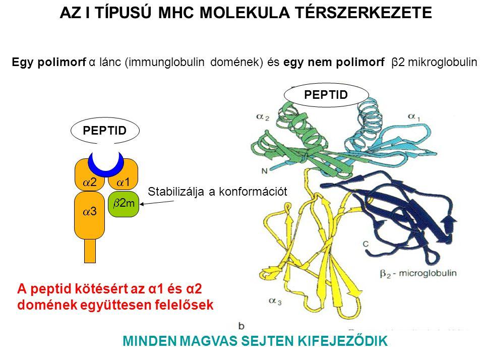 PEPTID 11 33 22 2m2m AZ I TÍPUSÚ MHC MOLEKULA TÉRSZERKEZETE MINDEN MAGVAS SEJTEN KIFEJEZŐDIK A peptid kötésért az α1 és α2 domének együttesen felelősek Egy polimorf α lánc (immunglobulin domének) és egy nem polimorf β2 mikroglobulin Stabilizálja a konformációt
