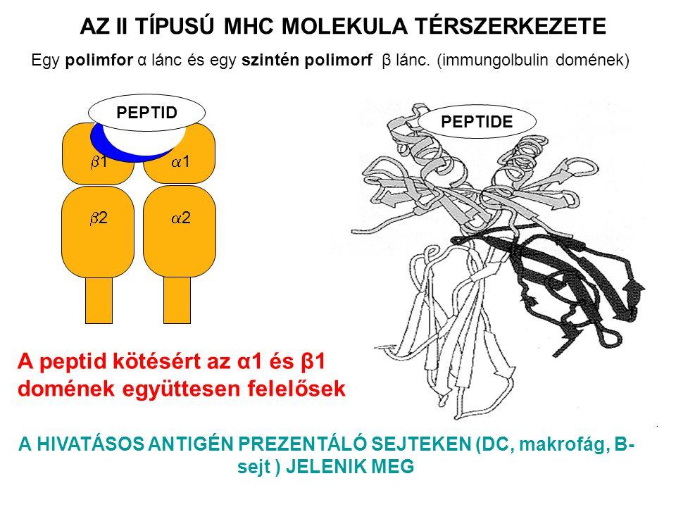 22 11 22 11 PEPTID PEPTIDE A HIVATÁSOS ANTIGÉN PREZENTÁLÓ SEJTEKEN (DC, makrofág, B- sejt ) JELENIK MEG AZ II TÍPUSÚ MHC MOLEKULA TÉRSZERKEZETE A peptid kötésért az α1 és β1 domének együttesen felelősek Egy polimfor α lánc és egy szintén polimorf β lánc.
