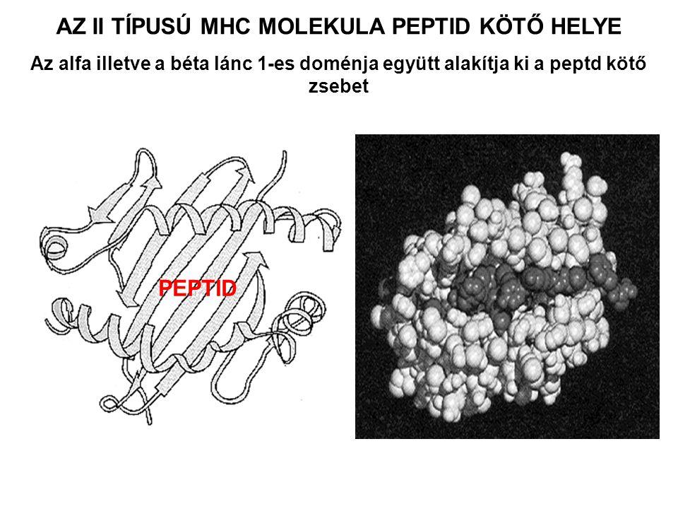 PEPTID AZ II TÍPUSÚ MHC MOLEKULA PEPTID KÖTŐ HELYE Az alfa illetve a béta lánc 1-es doménja együtt alakítja ki a peptd kötő zsebet