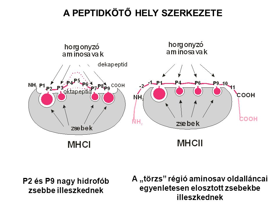 """A PEPTIDKÖTŐ HELY SZERKEZETE P2 és P9 nagy hidrofób zsebbe illeszkednek A """"törzs"""" régió aminosav oldalláncai egyenletesen elosztott zsebekbe illeszked"""