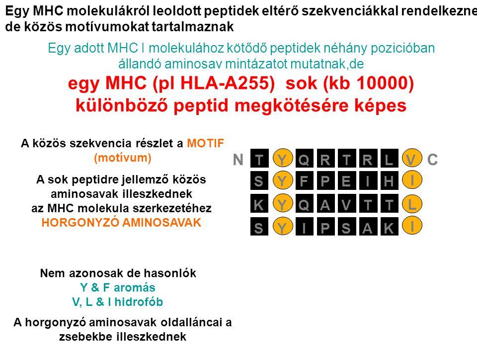 Egy MHC molekulákról leoldott peptidek eltérő szekvenciákkal rendelkeznek de közös motívumokat tartalmaznak Egy adott MHC I molekulához kötődő peptidek néhány pozicióban állandó aminosav mintázatot mutatnak,de egy MHC (pl HLA-A255) sok (kb 10000) különböző peptid megkötésére képes PEIYSFH I AVTYKQT L PSAYSIK I RTRYTQLV NC Nem azonosak de hasonlók Y & F aromás V, L & I hidrofób A horgonyzó aminosavak oldalláncai a zsebekbe illeszkednek A közös szekvencia részlet a MOTIF (motívum) A sok peptidre jellemző közös aminosavak illeszkednek az MHC molekula szerkezetéhez HORGONYZÓ AMINOSAVAK