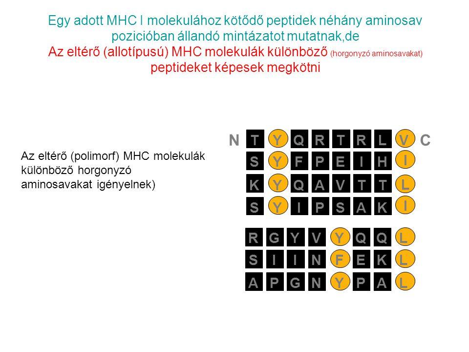 Egy adott MHC I molekulához kötődő peptidek néhány aminosav pozicióban állandó mintázatot mutatnak,de Az eltérő (allotípusú) MHC molekulák különböző (horgonyzó aminosavakat) peptideket képesek megkötni PEIYSFH I AVTYKQT L PSAYSIK I RTRYTQLV NC SIIFNEKL APGYNPAL RGYYVQQL Az eltérő (polimorf) MHC molekulák különböző horgonyzó aminosavakat igényelnek)
