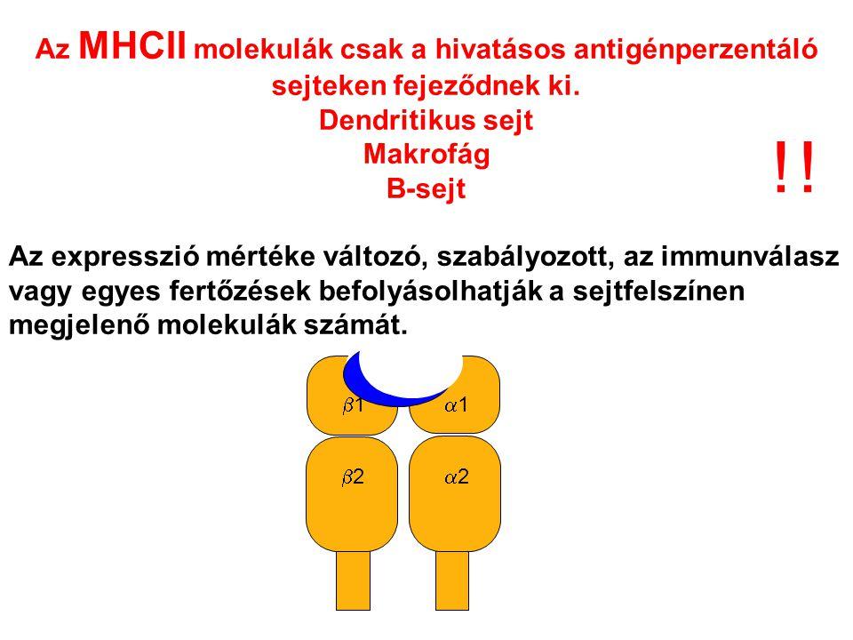 22 11 22 11 Az MHCII molekulák csak a hivatásos antigénperzentáló sejteken fejeződnek ki. Dendritikus sejt Makrofág B-sejt Az expresszió mérté