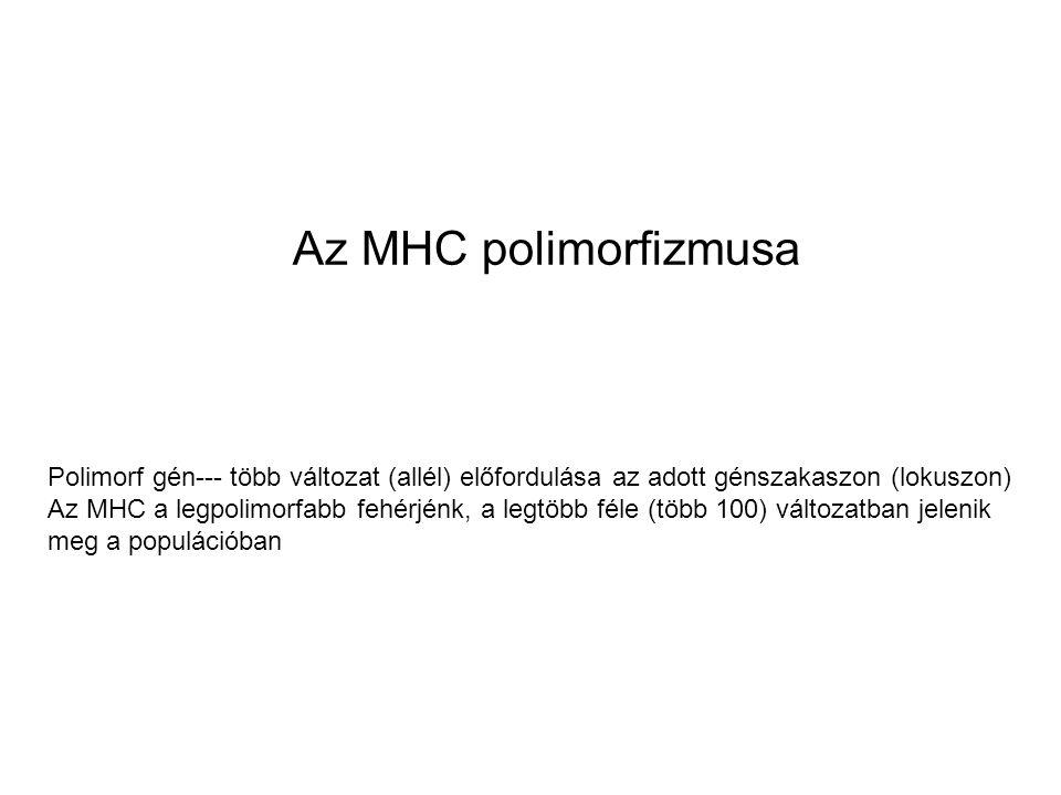 Az MHC polimorfizmusa Polimorf gén--- több változat (allél) előfordulása az adott génszakaszon (lokuszon) Az MHC a legpolimorfabb fehérjénk, a legtöbb féle (több 100) változatban jelenik meg a populációban