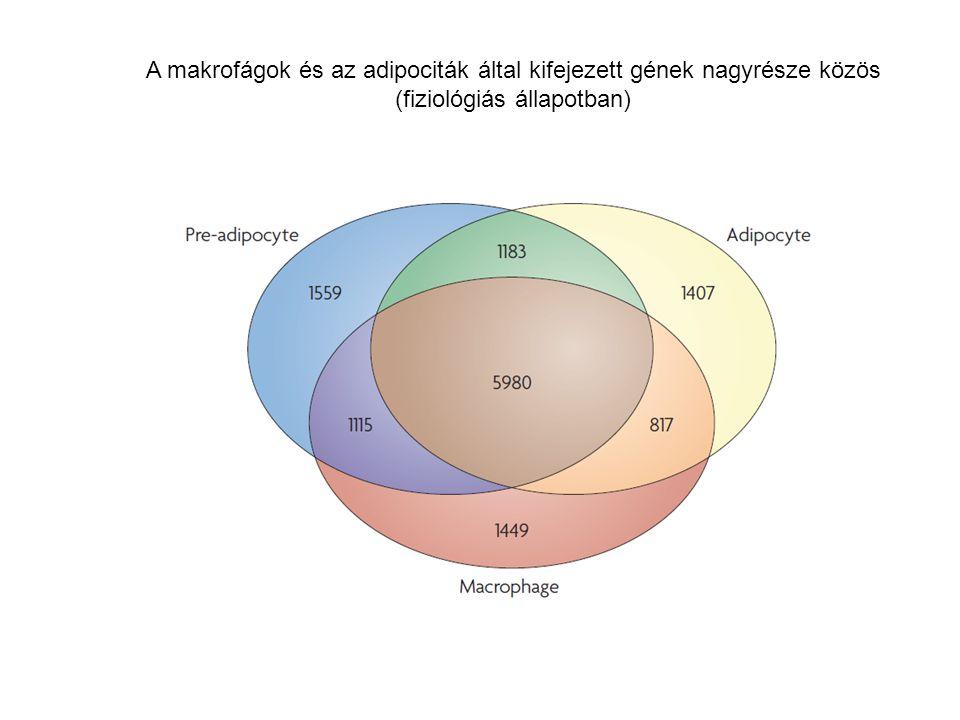 A makrofágok és az adipociták által kifejezett gének nagyrésze közös (fiziológiás állapotban)