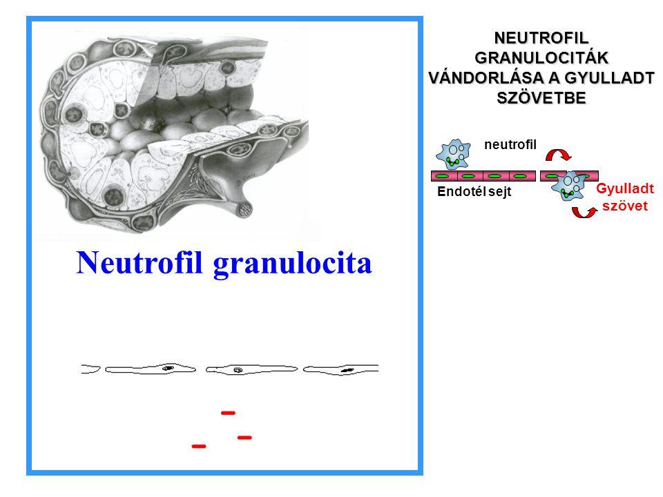 Neutrofil granulocita neutrofil Endotél sejt Gyulladt szövet NEUTROFIL GRANULOCITÁK VÁNDORLÁSA A GYULLADT SZÖVETBE