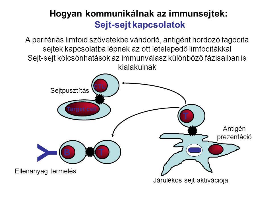 Hogyan kommunikálnak az immunsejtek: Sejt-sejt kapcsolatok A perifériás limfoid szövetekbe vándorló, antigént hordozó fagocita sejtek kapcsolatba lépnek az ott letelepedő limfocitákkal Sejt-sejt kölcsönhatások az immunválasz különböző fázisaiban is kialakulnak T CTL T B Y Ellenanyag termelés Járulékos sejt aktivációja Antigén prezentáció Target cell Sejtpusztítás