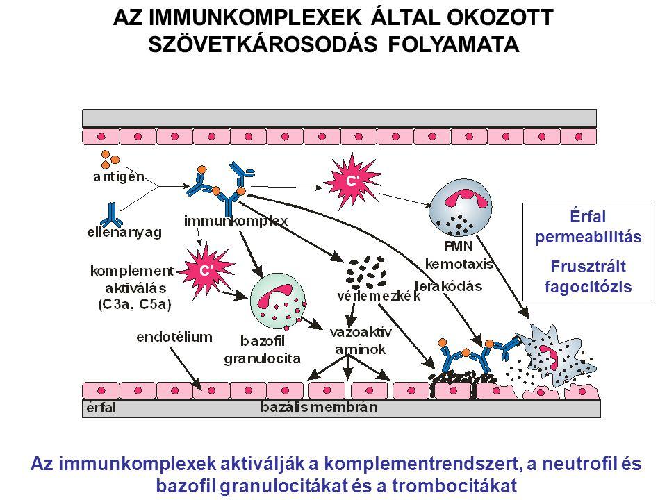 AZ IMMUNKOMPLEXEK ÁLTAL OKOZOTT SZÖVETKÁROSODÁS FOLYAMATA Az immunkomplexek aktiválják a komplementrendszert, a neutrofil és bazofil granulocitákat és