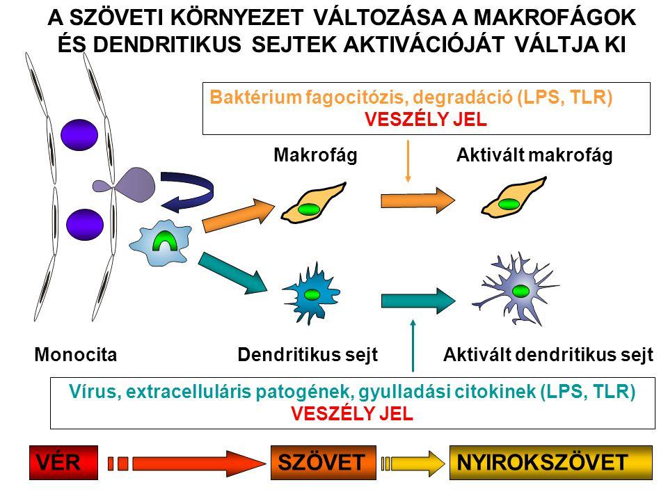 Makrofág Dendritikus sejt Aktivált makrofág Baktérium fagocitózis, degradáció (LPS, TLR) VESZÉLY JEL Aktivált dendritikus sejt Vírus, extracelluláris patogének, gyulladási citokinek (LPS, TLR) VESZÉLY JEL Monocita A SZÖVETI KÖRNYEZET VÁLTOZÁSA A MAKROFÁGOK ÉS DENDRITIKUS SEJTEK AKTIVÁCIÓJÁT VÁLTJA KI NYIROKSZÖVETVÉRSZÖVET