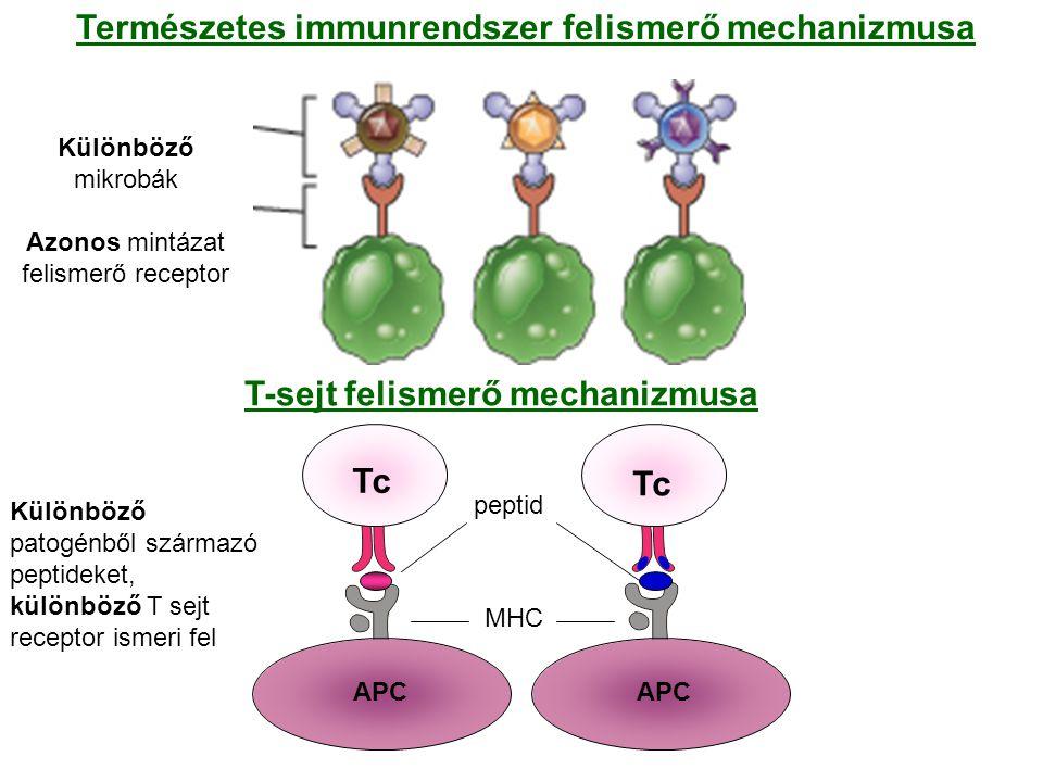 Különböző mikrobák Azonos mintázat felismerő receptor Természetes immunrendszer felismerő mechanizmusa T-sejt felismerő mechanizmusa Különböző patogénből származó peptideket, különböző T sejt receptor ismeri fel Tc APC Tc APC peptid MHC