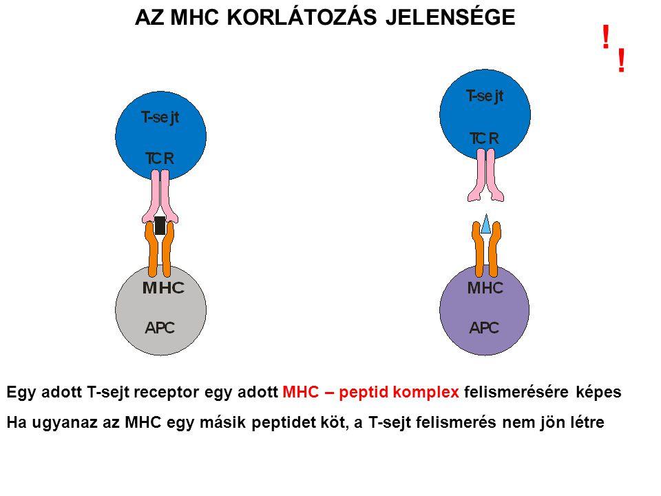 AZ MHC KORLÁTOZÁS JELENSÉGE Egy adott T-sejt receptor egy adott MHC – peptid komplex felismerésére képes Ha ugyanaz az MHC egy másik peptidet köt, a T