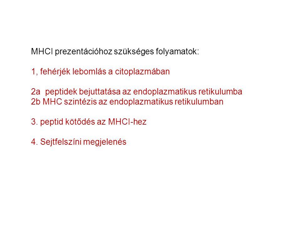 MHCI prezentációhoz szükséges folyamatok: 1, fehérjék lebomlás a citoplazmában 2a peptidek bejuttatása az endoplazmatikus retikulumba 2b MHC szintézis