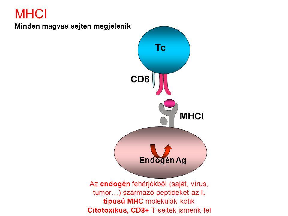 Endogén Ag CD8 MHCI Az endogén fehérjékből (saját, vírus, tumor…) származó peptideket az I. típusú MHC molekulák kötik Citotoxikus, CD8+ T-sejtek isme