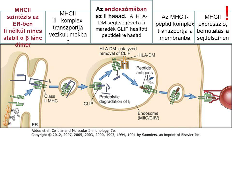MHCII szintézis az ER-ben Ii nélkül nincs stabil α β lánc dimer MHCII Ii –komplex transzportja vezikulumokba c Az endoszómában az Ii hasad. A HLA- DM