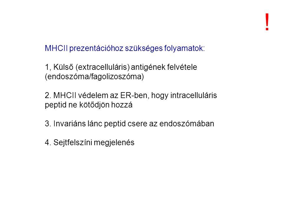 MHCII prezentációhoz szükséges folyamatok: 1, Külső (extracelluláris) antigének felvétele (endoszóma/fagolizoszóma) 2.