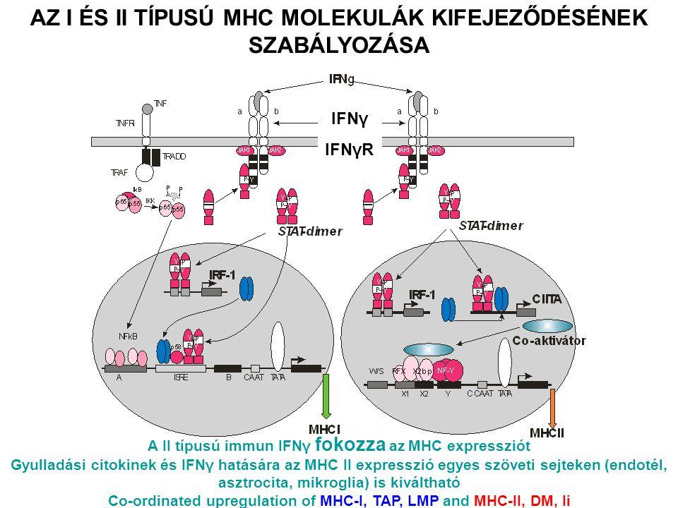 AZ I ÉS II TÍPUSÚ MHC MOLEKULÁK KIFEJEZŐDÉSÉNEK SZABÁLYOZÁSA IFNγ IFNγR A II típusú immun IFNγ fokozza az MHC expressziót Gyulladási citokinek és IFNγ hatására az MHC II expresszió egyes szöveti sejteken (endotél, asztrocita, mikroglia) is kiváltható Co-ordinated upregulation of MHC-I, TAP, LMP and MHC-II, DM, Ii