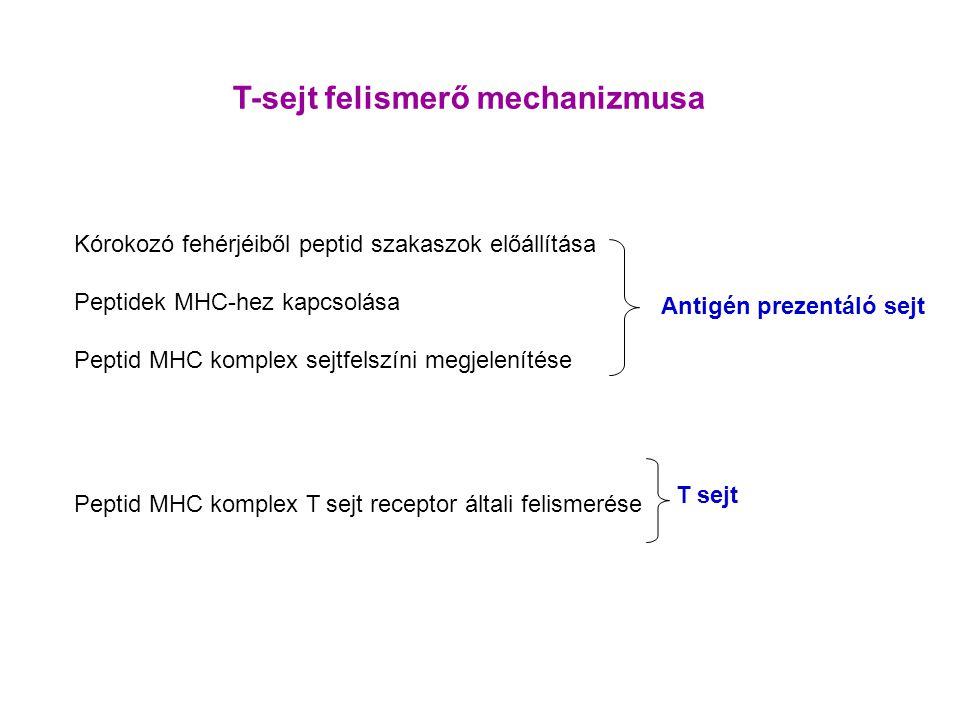 T-sejt felismerő mechanizmusa Kórokozó fehérjéiből peptid szakaszok előállítása Peptidek MHC-hez kapcsolása Peptid MHC komplex sejtfelszíni megjelenítése Peptid MHC komplex T sejt receptor általi felismerése Antigén prezentáló sejt T sejt