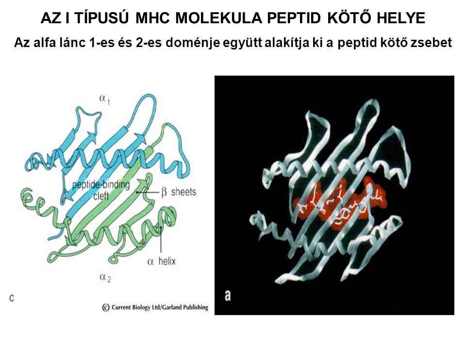 AZ I TÍPUSÚ MHC MOLEKULA PEPTID KÖTŐ HELYE Az alfa lánc 1-es és 2-es doménje együtt alakítja ki a peptid kötő zsebet