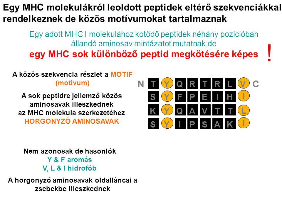 Egy MHC molekulákról leoldott peptidek eltérő szekvenciákkal rendelkeznek de közös motívumokat tartalmaznak Egy adott MHC I molekulához kötődő peptidek néhány pozicióban állandó aminosav mintázatot mutatnak,de egy MHC sok különböző peptid megkötésére képes PEIYSFH I AVTYKQT L PSAYSIK I RTRYTQLV NC Nem azonosak de hasonlók Y & F aromás V, L & I hidrofób A horgonyzó aminosavak oldalláncai a zsebekbe illeszkednek A közös szekvencia részlet a MOTIF (motívum) A sok peptidre jellemző közös aminosavak illeszkednek az MHC molekula szerkezetéhez HORGONYZÓ AMINOSAVAK !
